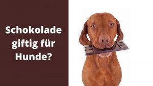 Schokolade für Hunde giftig
